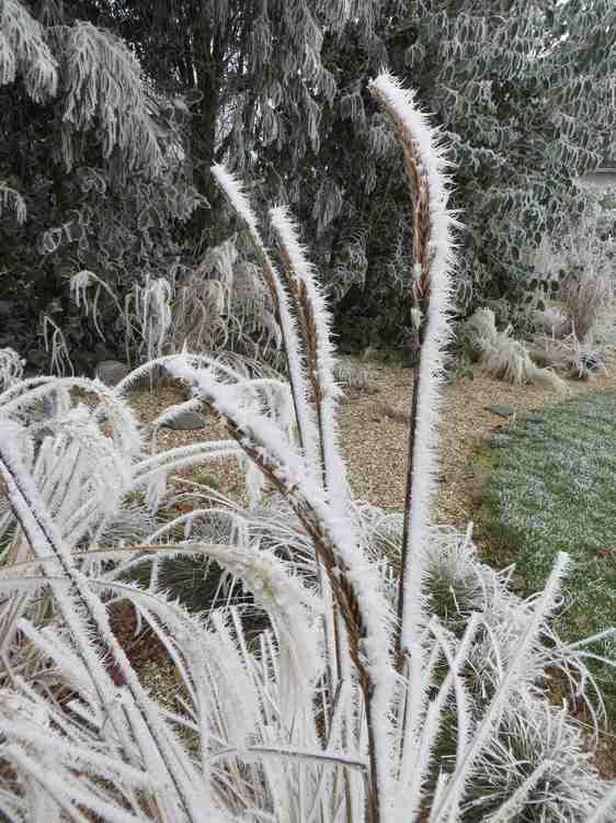 Poaceaes.jpg