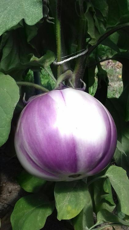 599813d65de4d_aubergine19_08.thumb.jpg.df950d465445c8624e59d9c06a7c1f53.jpg