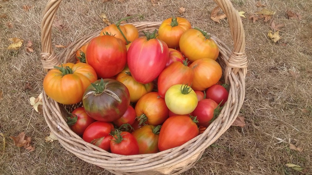 1485350036_tomates01_09.thumb.jpg.c14b803510e0ba5c5fad636ace30557c.jpg
