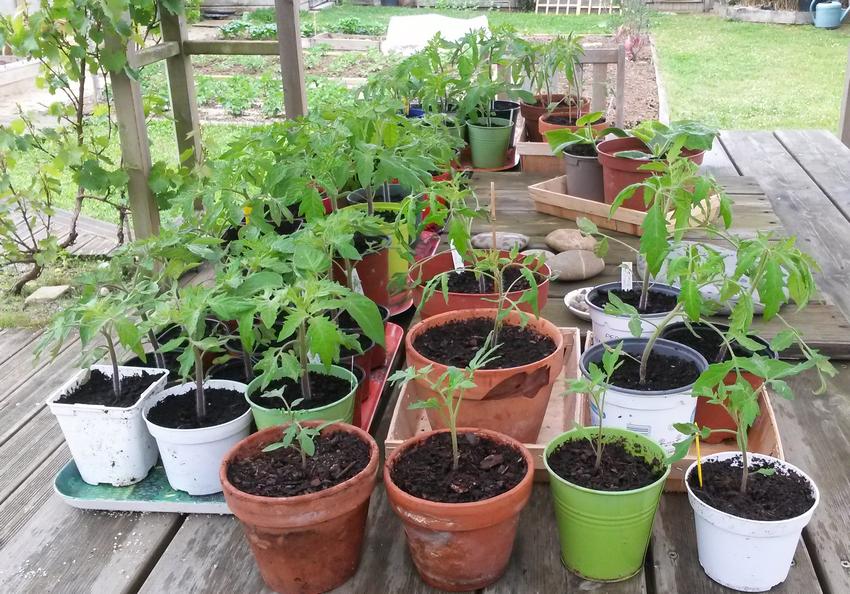 Plants tomates.png