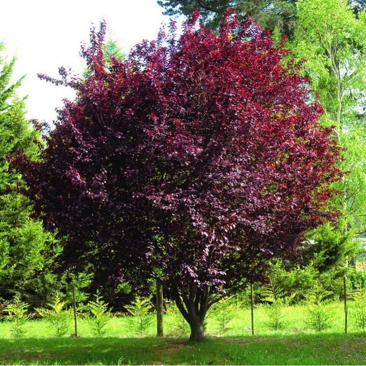 prunus-cerasifera-atropurpurea-prunier-myrobolan-nigra.thumb.jpg.c2246dff4f96d543853e8e26ed45578d.jpg