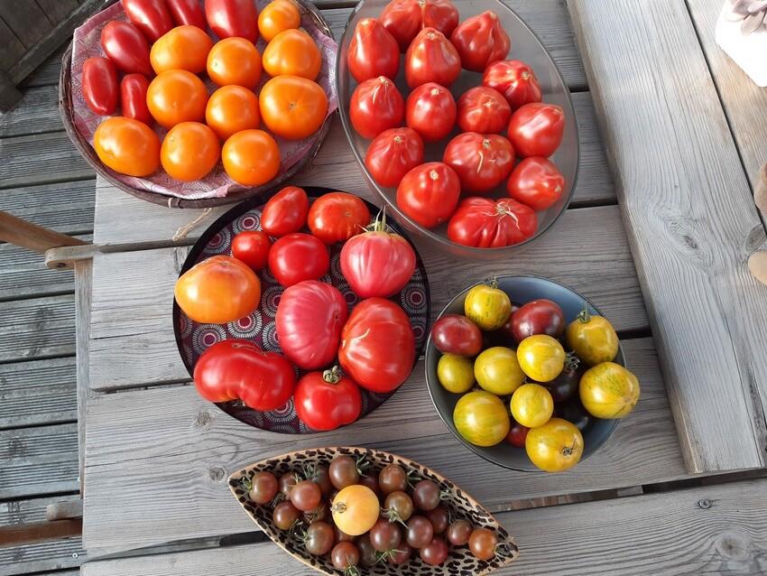 Tomates 10sept21.jpg